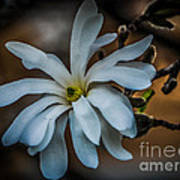 Magnolia Tree Blossum Poster