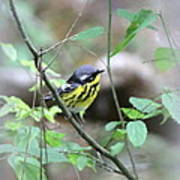 Magnolia Warbler - Bird Poster