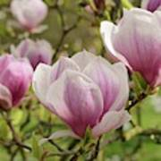 Magnolia X Soulangeana Flowers Poster