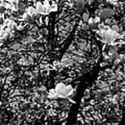 Magnolias In White Poster