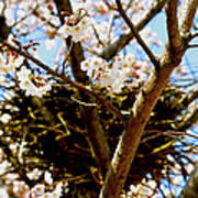 Magpie Nest In Cherry Tree Poster