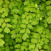 Maidenhair Fern Poster