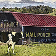 Mail Pouch Barn With Cow Poster