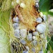 Maize Cob Infected With Corn Smut Poster