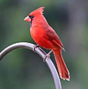 Majestic Cardinal Poster