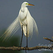 Majestic Great Egret Poster