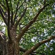 Majestic Oak Poster