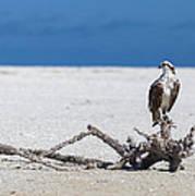 Majestic Osprey Poster