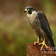 Majestic Peregrine Falcon In The Rain Poster by Inspired Nature Photography Fine Art Photography