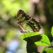 Malachite In Bosque De Guajataca Poster