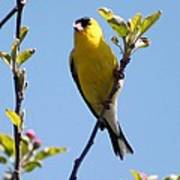 Male American Goldfinch Gathering Feathers For The Nest Poster