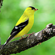 Male American Goldfinch Poster by Thomas R Fletcher