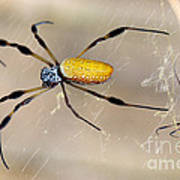 Male And Female Golden Silk Spiders Poster