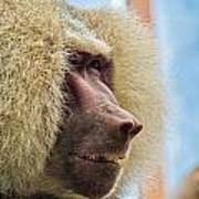 Male Baboon Poster