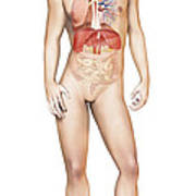 Male Body Standing, With Full Poster by Leonello Calvetti
