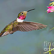 Male Broad-tailed Hummingbird Poster