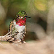 Male Broad-tailed Hummingbird Poster by Old Pueblo Photography