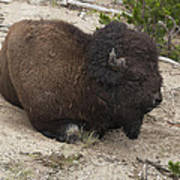 Male Buffalo At Hot Springs Poster