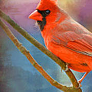 Male Cardinal  - Colorful Perch - Digital Paint Poster