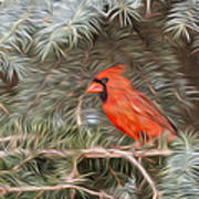 Male Cardinal In Spruce Tree Poster