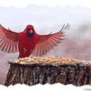 Male Cardinal Landing  Poster