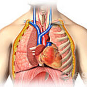 Male Chest Anatomy Of Thorax Poster