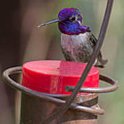 Male Costa Hummingbird Poster