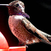 Male Costa Hummingbird On Perch Poster