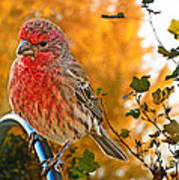 Male Finch In Autumn Leaves Poster