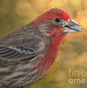 Male Finch With Seed Poster