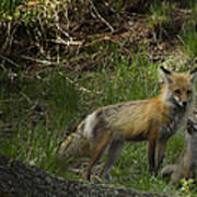 Male Fox And Pup   #3554 Poster