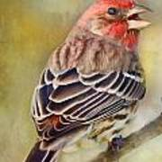 Male House Finch - Digital Paint Poster