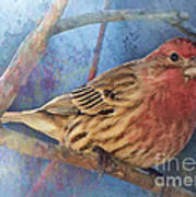 Male Housefinch Digital Paint Poster
