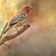 Male Housefinch Looking Up Poster