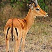 Male Impala With Horns Poster