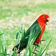 Male King Parrot  Poster