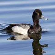 Male Leser Scaup Poster