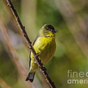 Male Lesser Goldfinch Poster