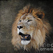 Male Lion II Poster