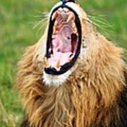 Lion Roar Poster