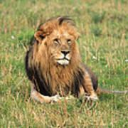 Male Lion On The Masai Mara Poster by Aidan Moran