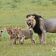 Male Lion Teaches Cubs Poster