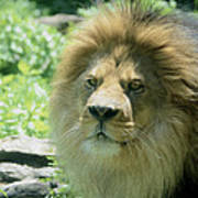 Male Lion Up Close Poster