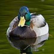 Male Mallard Duck Poster