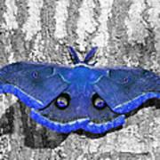 Male Moth - Brilliant Blue Poster