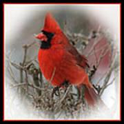 Male Northern Cardinal Poster by John Kunze
