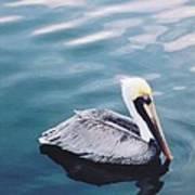 Male Pelican Poster