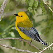 Male Prothonotary Warbler Poster