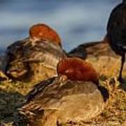Male Readhead Duck Poster