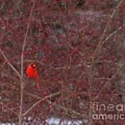 Male Red Cardinal In The Snow Poster